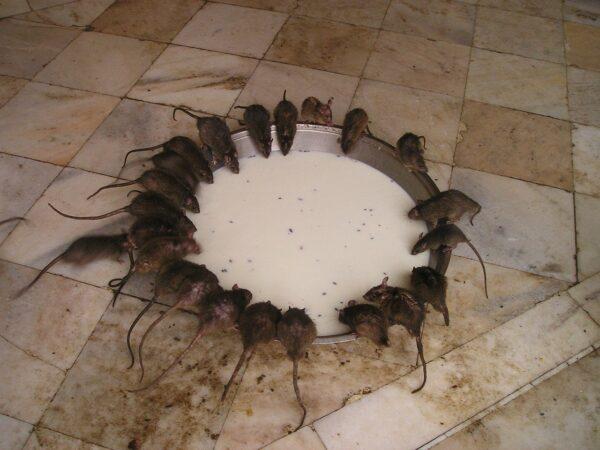 rats drinking