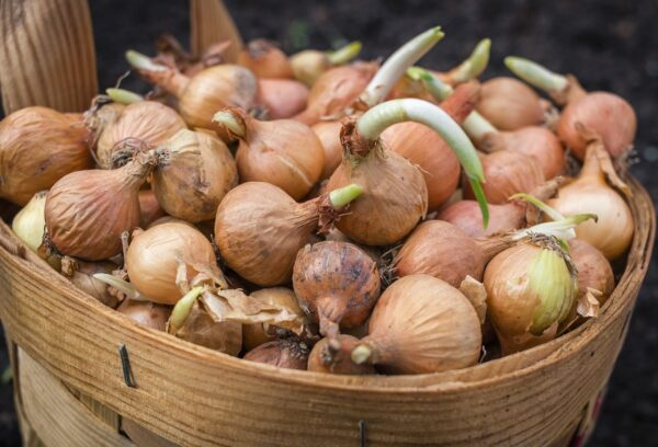 onions can be composted